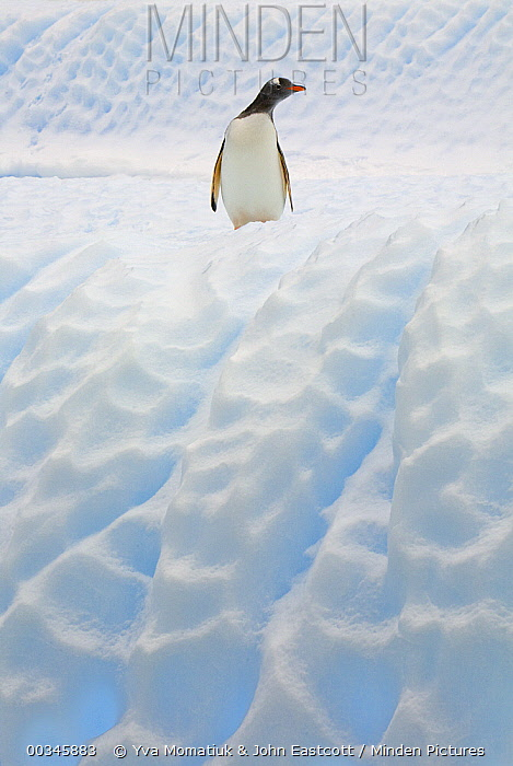 Gentoo Penguin (Pygoscelis papua) on sculpted blue iceberg, South Georgia Island  -  Yva Momatiuk & John Eastcott