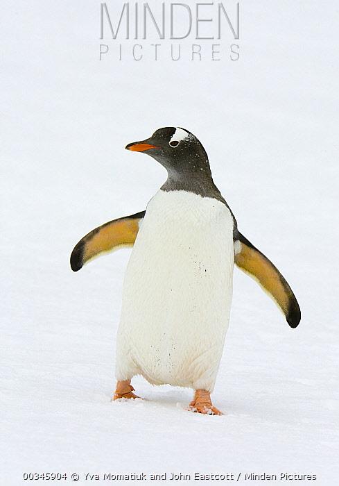 Gentoo Penguin (Pygoscelis papua) walking in snow, Cooper Bay, South Georgia Island  -  Yva Momatiuk & John Eastcott