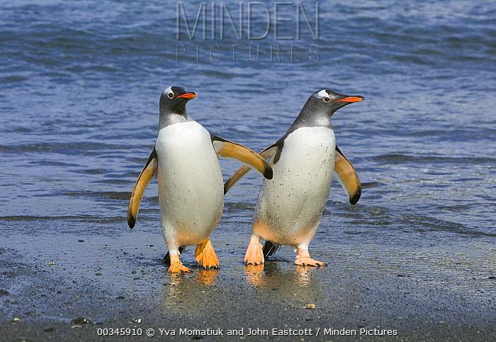 Gentoo Penguin (Pygoscelis papua) pair coming out of sea, Cooper Bay, South Georgia Island  -  Yva Momatiuk & John Eastcott
