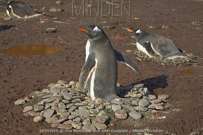 Gentoo Penguin (Pygoscelis papua) trio incubating eggs on stone nests, Wirik Bay, South Georgia Island  -  Yva Momatiuk & John Eastcott