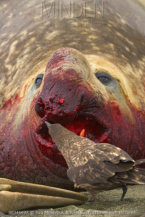 Antarctic Skua (Catharacta antarctica) pecking torn flesh on bloody nose of Southern Elephant Seal (Mirounga leonina) bull wounded during fight for access to females, St. Andrews Bay, South Georgia Island  -  Yva Momatiuk & John Eastcott