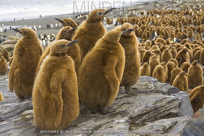 King Penguin (Aptenodytes patagonicus) chicks, St. Andrews Bay, South Georgia Island  -  Yva Momatiuk & John Eastcott