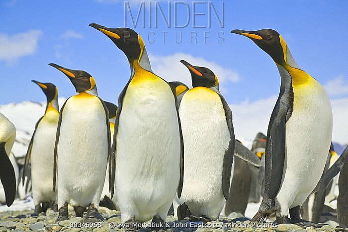 King Penguin (Aptenodytes patagonicus) group standing on rocky beach, Antarctic Bay, South Georgia Island  -  Yva Momatiuk & John Eastcott