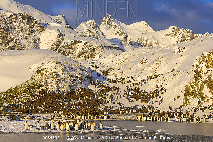 King Penguin (Aptenodytes patagonicus) group crowding on gravel beach, Antarctic Bay, South Georgia Island  -  Yva Momatiuk & John Eastcott