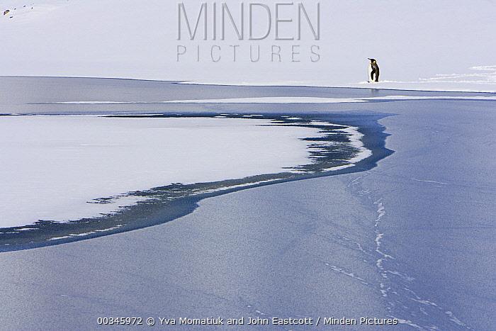 King Penguin (Aptenodytes patagonicus) on snowy slope near glacial river, Antarctic Bay, South Georgia Island  -  Yva Momatiuk & John Eastcott