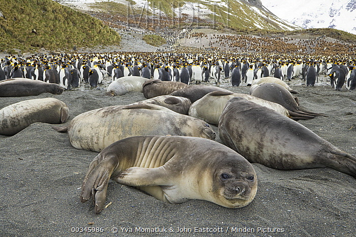 Southern Elephant Seal (Mirounga leonina), fat weaner pups resting together on beach with King Penguins (Aptenodytes patagonicus) in the background, Right Whale Bay, South Georgia Island  -  Yva Momatiuk & John Eastcott