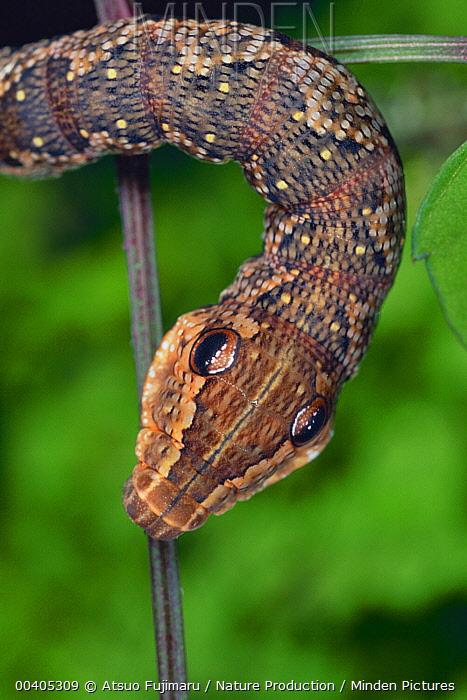 Hawk Moth (Rhagastis mongoliana) caterpillar mimicking snake, Japan  -  Atsuo Fujimaru/ Nature Productio