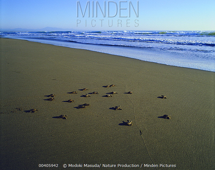 Loggerhead Sea Turtle (Caretta caretta) hatchlings heading for the sea, Nichinan Beach, Miyazaki, Japan  -  Modoki Masuda/ Nature Production