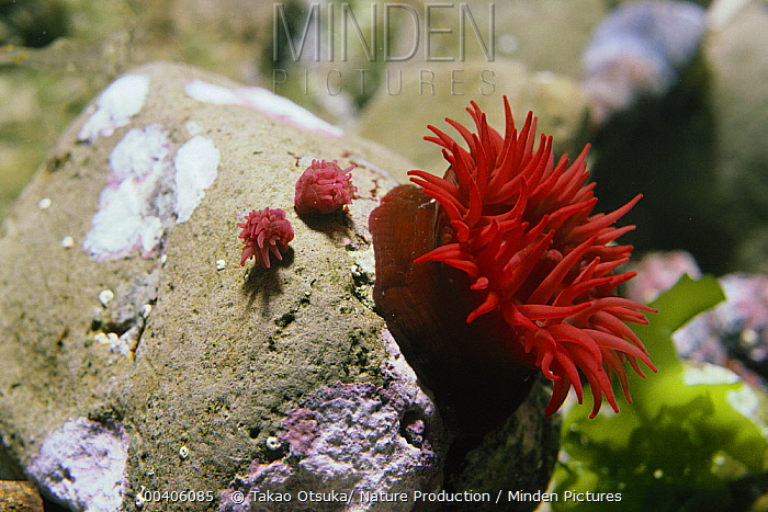 Beadlet Anemone (Actinia equina) with tentacles extended to feed, Japan  -  Takao Otsuka/ Nature Production
