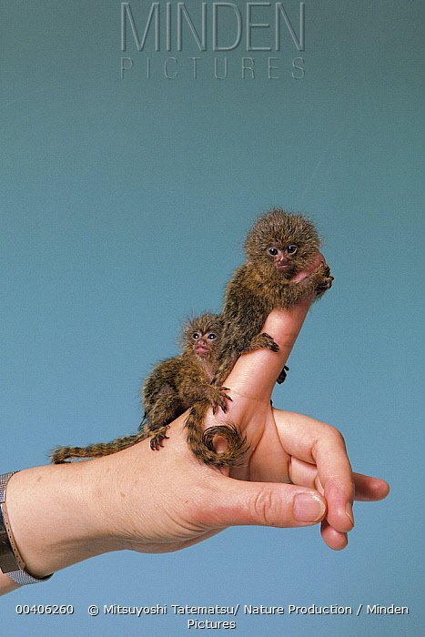 Pygmy Marmoset (Cebuella pygmaea) pair on finger, Japan  -  Mitsuyoshi Tatematsu/ Nature Pro