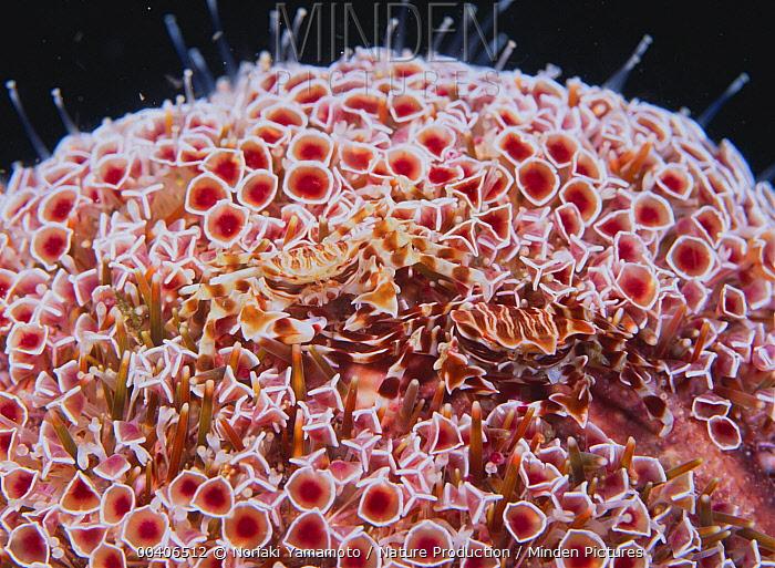 Adam's Urchin Crab (Zebrida adamsii) pair in Sea Urchin (Toxopneustes pileolus), Kushimoto, Wakayama, Japan  -  Noriaki Yamamoto/ Nature Product