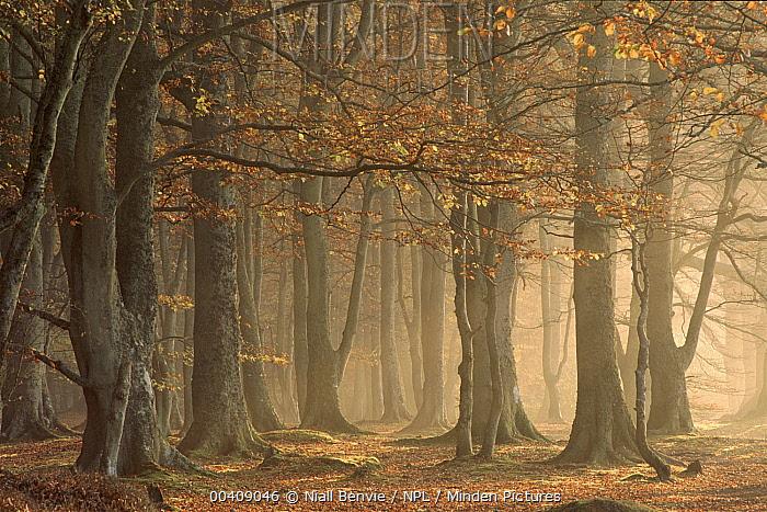 European Beech (Fagus sylvatica) forest, Arbroath, Angus, Scotland  -  Niall Benvie/ npl