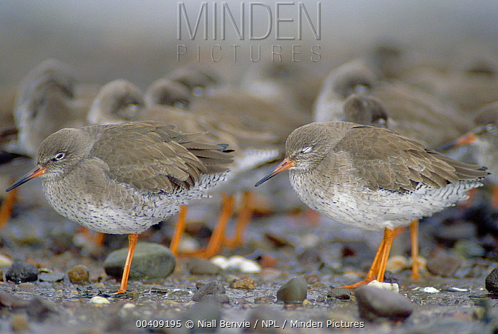 Common Redshank (Tringa totanus) flocking to reduce heat loss, Angus, Scotland  -  Niall Benvie/ npl