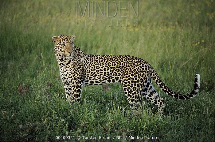 Leopard (Panthera pardus), Serengeti National Park, Tanzania  -  Torsten Brehm/ npl