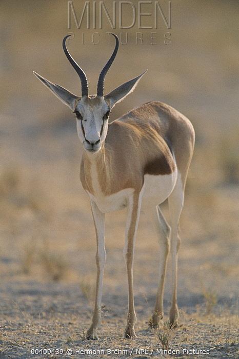Springbok (Antidorcas marsupialis) female, Etoshe National park, Namibia  -  Hermann Brehm/ npl