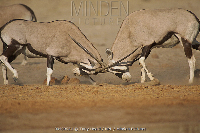 South African Gemsbok (Oryx gazella) males fighting, Etosha National Park, Namibia  -  Tony Heald/ npl