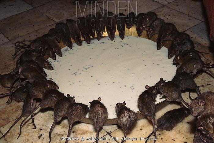 Black Rat (Rattus rattus) sacred group drinking from bowl, Karni Mata, Bikaner, Rajasthan, India  -  Ashok Jain/ npl