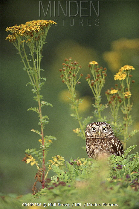 Little Owl (Athene noctua) male among Stinking Willie (Senecio jacobaea), Scotland  -  Niall Benvie/ npl