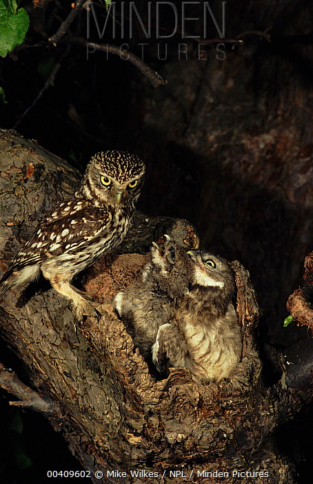 Little Owl (Athene noctua) with young at nest, Warwickshire, England  -  Mike Wilkes/ npl