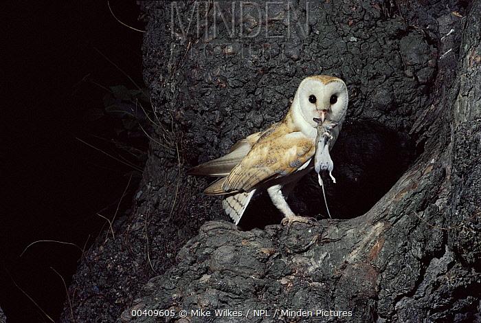 Barn Owl (Tyto alba) returning to nest with rodent prey, Warwickshire, England  -  Mike Wilkes/ npl