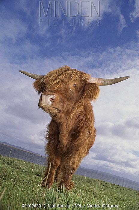Domestic Cattle (Bos taurus), Highland breed, Argyl, Scotland  -  Niall Benvie/ npl