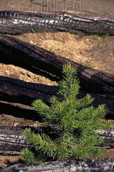 Regrowth after fire among fallen timber and burned trees, Yellowstone National Park, Wyoming  -  Torsten Brehm/ npl