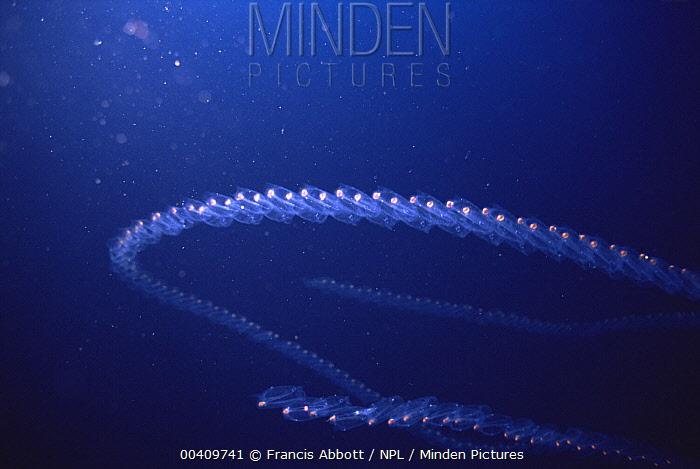 Salp (Salpa maxima), fluorescent chain showing asexual reproduction, off Menorca, Mediterranean  -  Francis Abbott/ npl