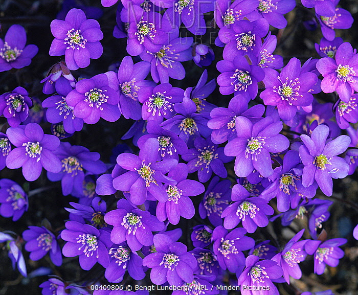 Blue Wood Anemone (Anemone apennina), Sweden  -  Bengt Lundberg/ npl