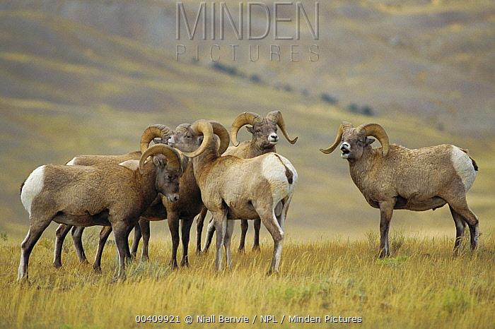 Bighorn Sheep (Ovis canadensis) 3-year old rams - mock rut, Yellowstone National Park, Wyoming  -  Niall Benvie/ npl