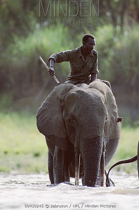 African Forest Elephant (Loxodonta africana cyclotis) crossing river with rider, Garamba National Park, Democratic Republic of Congo  -  Jabruson/ npl