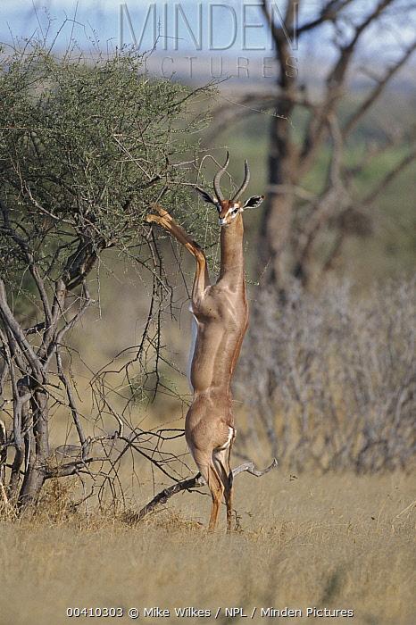 Gerenuk (Litocranius walleri) male feeding, Kenya  -  Mike Wilkes/ npl