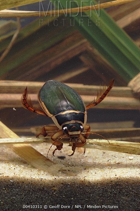 Great Diving Beetle (Dytiscus marginalis) male underwater, England  -  Geoff Dore/ npl