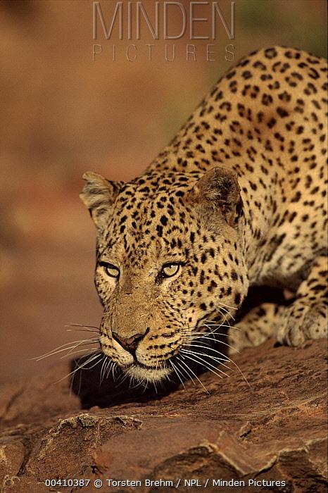 Leopard (Panthera pardus) portrait, Namibia  -  Torsten Brehm/ npl