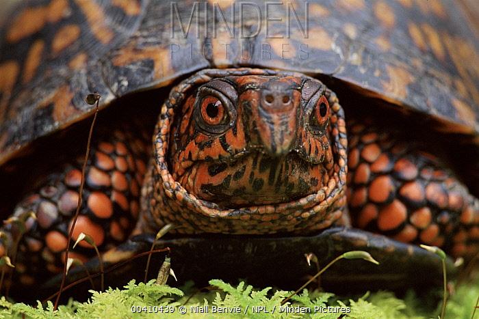 Eastern Box Turtle (Terrapene carolina carolina) head portrait, North America  -  Niall Benvie/ npl