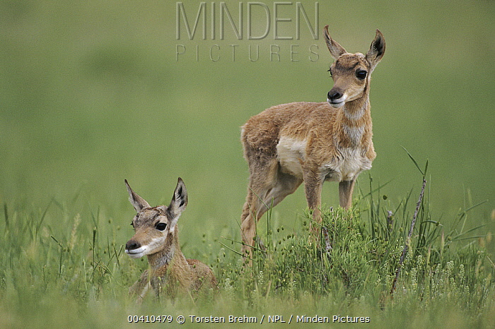 Pronghorn Antelope (Antilocapra americana) juveniles, Yellowstone National Park, Wyoming  -  Torsten Brehm/ npl