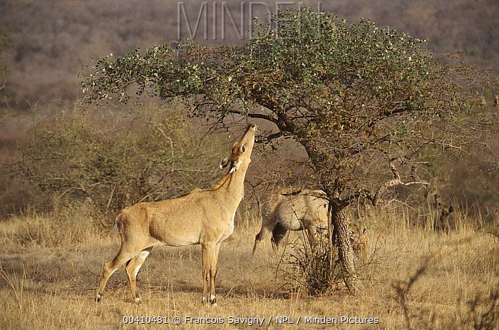 Nilgai (Boselaphus tragocamelus) female feeding on bush, Ranthambore National Park, Rajasthan, India  -  Francois Savigny/ npl