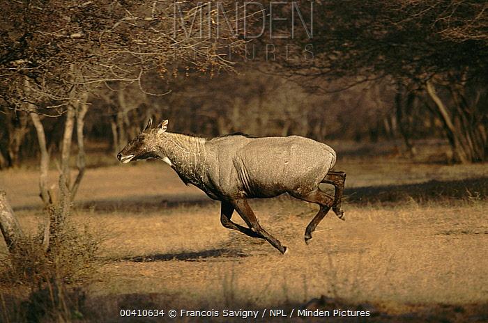 Nilgai (Boselaphus tragocamelus) male running, Ranthambore National Park, Rajasthan, India  -  Francois Savigny/ npl