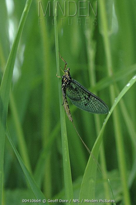 Mayfly (Cloeon sp) adult, Somerset, England  -  Geoff Dore/ npl