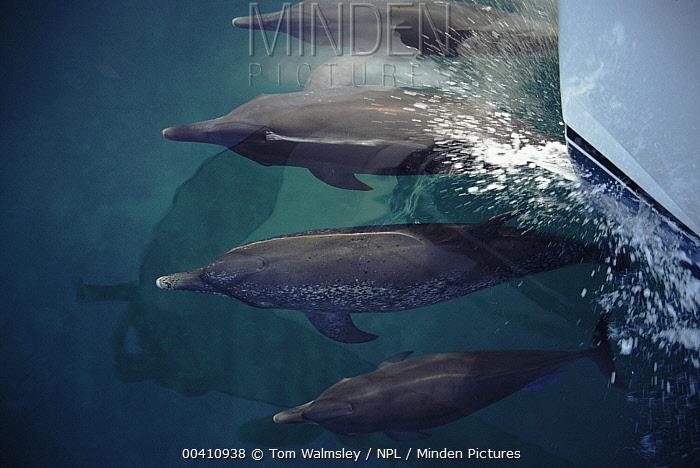 Atlantic Spotted Dolphin (Stenella frontalis) pod bow-riding, Bimini, Bahamas  -  Tom Walmsley/ npl
