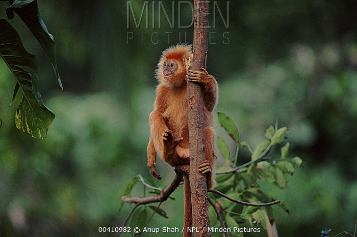 Ebony Leaf Monkey (Trachypithecus auratus) climbing, native to Java, Indonesia  -  Anup Shah/ npl