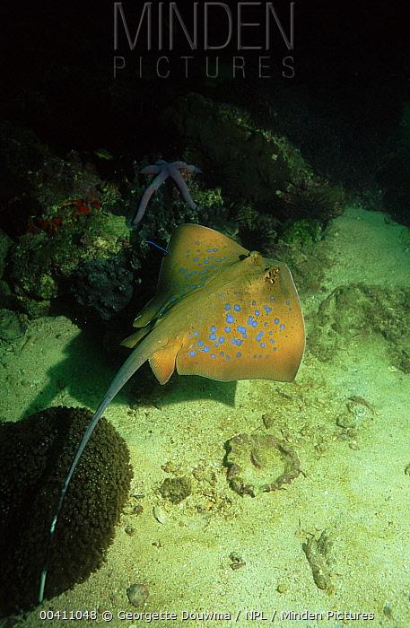 Blue-spotted Stingray (Dasyatis kuhlii) on sea floor, top view, Andaman Sea, Thailand  -  Georgette Douwma/ npl