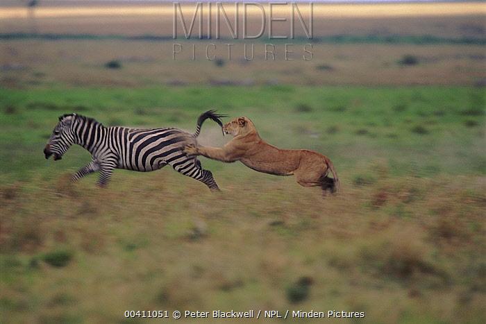African Lion (Panthera leo) female hunting Burchell's Zebra (Equus burchellii), Masai Mara National Reserve, Kenya  -  Peter Blackwell/ npl