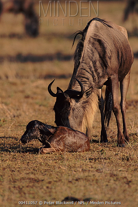 Blue Wildebeest (Connochaetes taurinus) with newborn calf, Masai Mara National Reserve, Kenya  -  Peter Blackwell/ npl