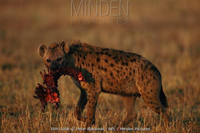 Spotted Hyena (Crocuta crocuta) with prey, Masai Mara National Reserve, Kenya  -  Peter Blackwell/ npl