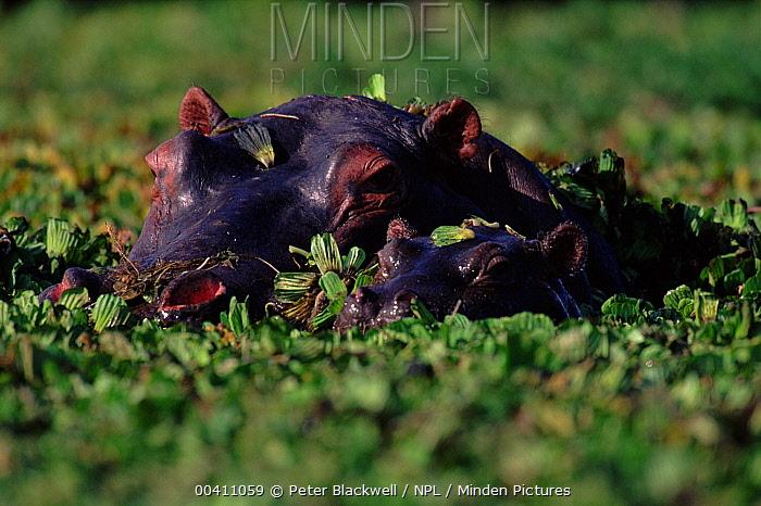 Hippopotamus (Hippopotamus amphibius) submerged in water cabbage, Masai Mara National Reserve, Kenya  -  Peter Blackwell/ npl