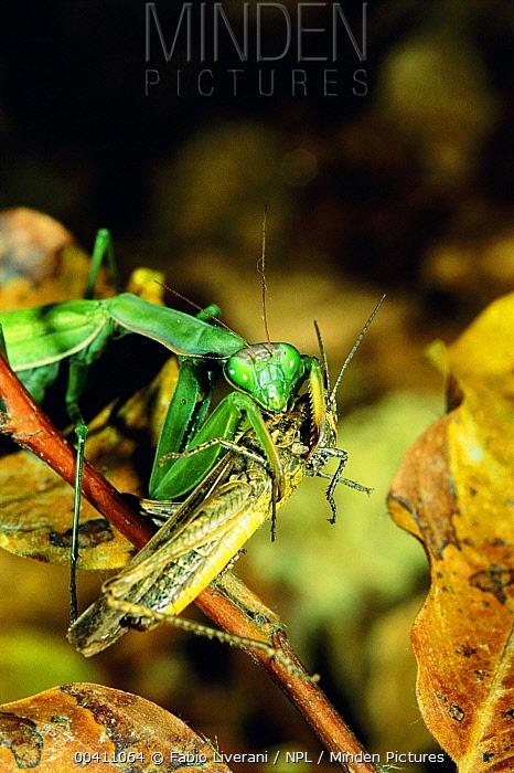 European Mantid (Mantis religiosa) with grasshopper prey, Italy  -  Fabio Liverani/ npl