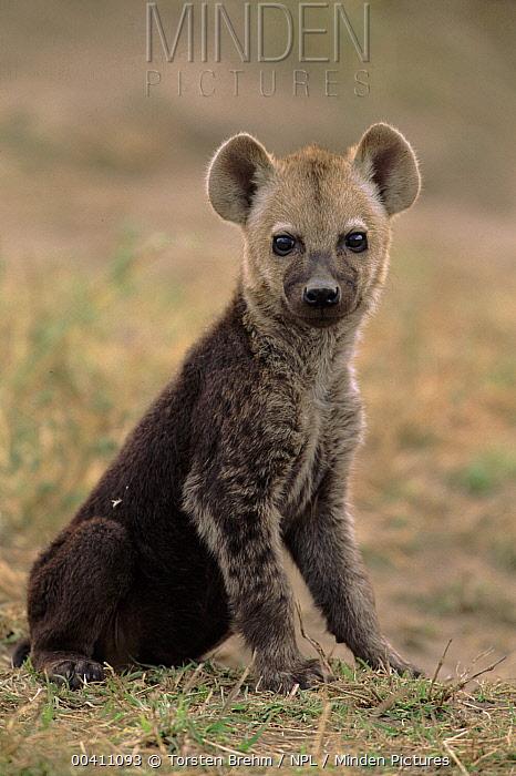 Spotted Hyena (Crocuta crocuta) cub, Serengeti National Park, Tanzania  -  Torsten Brehm/ npl