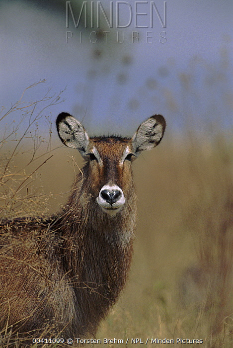 Defassa Waterbuck (Kobus ellipsiprymnus defassa) female, Serengeti National Park, Tanzania  -  Torsten Brehm/ npl