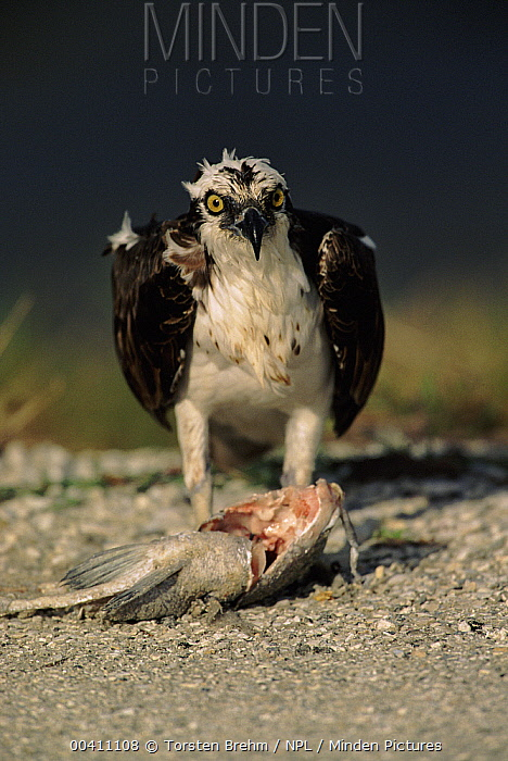 Osprey (Pandion haliaetus) feeding on fish prey, Florida  -  Torsten Brehm/ npl