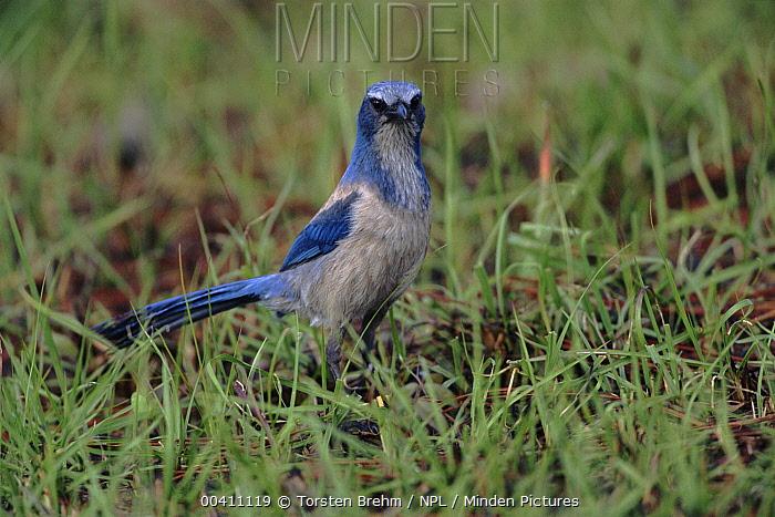 Florida Jay (Aphelocoma coerulescens), Florida  -  Torsten Brehm/ npl